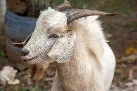kambing kurban